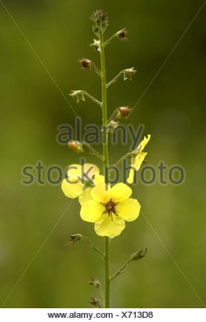 Motte Königskerze (Verbascum Blattaria), weiße Blume, Deutschland ...
