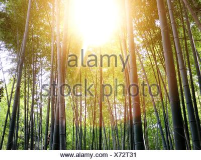 Sonnenlicht auf Bambus wächst im Wald - Stockfoto