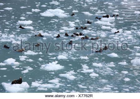 Seeotter (Enhydra Lutris), im Prinz-William-Sund, USA, Alaska - Stockfoto