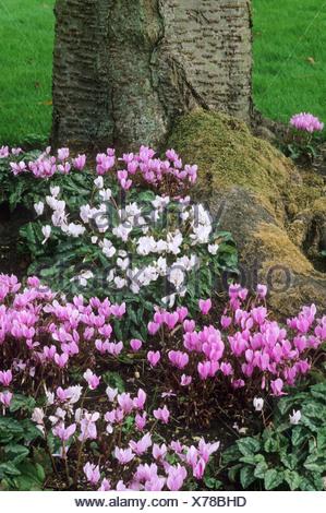 Cyclamen Hederifolium Voranbau Baum rosa weiße Blumen Garten ...