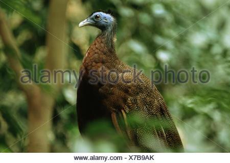 großer Argus Fasan (Argusianus Argus), männliche sitzt in einem Busch - Stockfoto