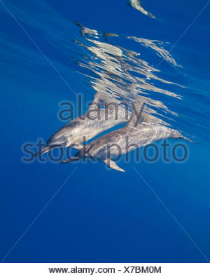 Lang-snouted Spinnder Delphine, Stenella Longirostris, Hawaii, USA - Stockfoto