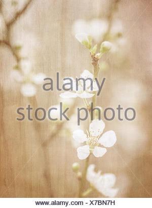 Kirschbaum Blüte, abstrakte weiche Farbe floral Hintergrund, weiß ...