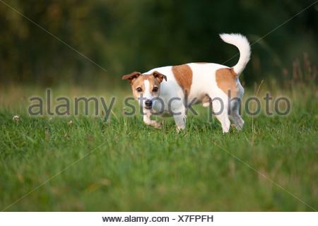 Jack Russell Terrier - Stockfoto