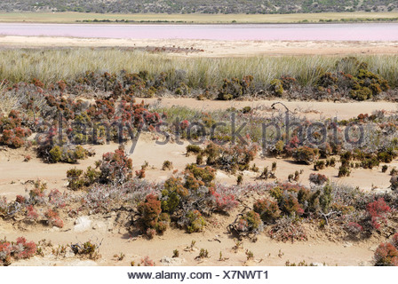 Salzpfanne Vegetation, Hutt Lagune, rosa Seen, Port Gregory, Western Australia, Australien - Stockfoto