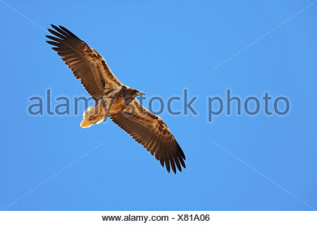 Schmutzgeier (Neophron Percnopterus), im Flug, Jugendkriminalität, Kanarischen Inseln, Fuerteventura - Stockfoto