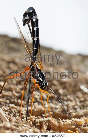 ichneumon wasp stockfoto bild 21889540 alamy. Black Bedroom Furniture Sets. Home Design Ideas