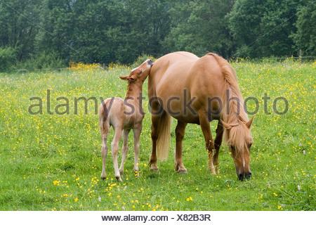 Arabische-Haflinger-Stute mit Fohlen, Vulkan Couvinian, Rheinland-Pfalz, Deutschland, Europa - Stockfoto