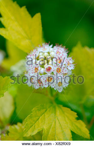 physocarpus opulifolius stockfoto bild 73199710 alamy. Black Bedroom Furniture Sets. Home Design Ideas