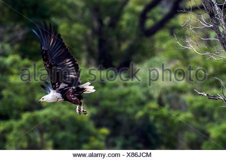 Eine afrikanische Fischadler startet von einem Schlafplatz oben ein Feuchtgebiet. - Stockfoto