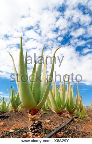 Aloe Vera farm - Stockfoto