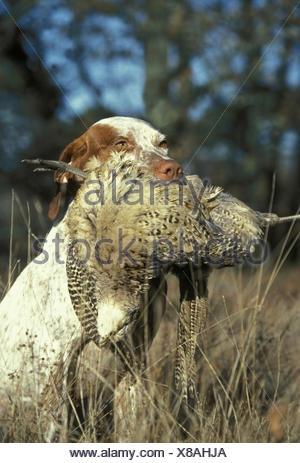 Bourdonnais Pointer Hund, Erwachsene mit gemeinsamen Fasan weiblich im Maul