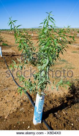 Reihen von jungen Mandelbäume in einem vor kurzem gepflanzten Obstgarten. Die Bäume haben Nagetiere Protektoren um ihre Stämme / California. - Stockfoto