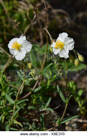 White Rock Rose (Helianthemum apenninum), Blumen Stockfoto, Bild ...