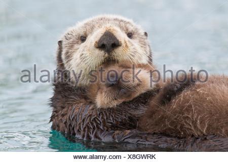 Weiblich-Sea Otter Holding neugeborenen Welpen aus Wasser, Prinz-William-Sund, Yunan Alaska, Winter - Stockfoto