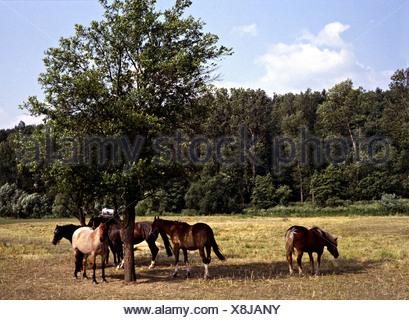 Pferde auf einer Weide suchen Schatten unter einem Baum - Stockfoto