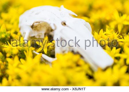 Kaninchen Schädel in beißen Fetthenne Blüte; - Stockfoto