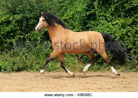 Welsh Pony B, Deutschland - Stockfoto