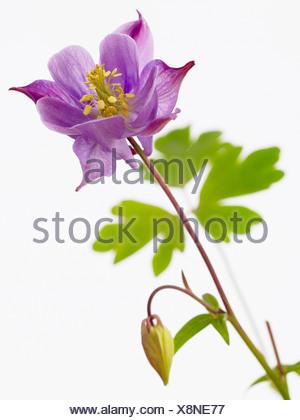 Schöne lila Columbine Blume. Blume im Garten Stockfoto, Bild ...