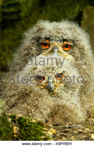nördlichen Uhu (Bubo Bubo), zwei junge nördlichen Adler Ows im Nest, Deutschland - Stockfoto