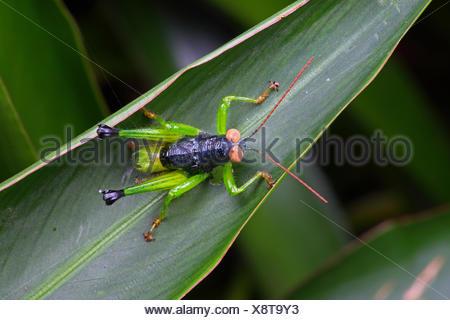 Ein schwarzer und grüner Grashüpfer mit großen Tan Augen ruhen auf einem Blatt. - Stockfoto