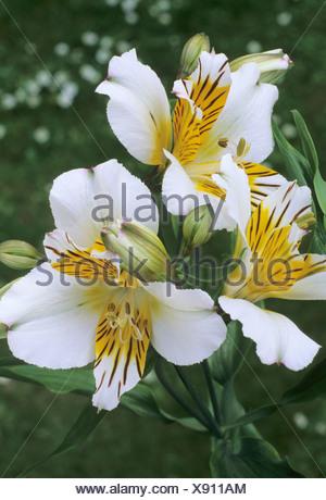 Alstroemeria \'Apollo\' Alstromeria weiße Blume Blumen Garten Pflanze ...