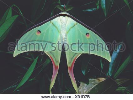 Indische Mondmotte (Actias Selene), tropischer Regenwald, Indien - Stockfoto