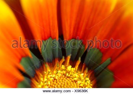 Kap-Ringelblume (Dimorphotheca Sinuata) - Stockfoto