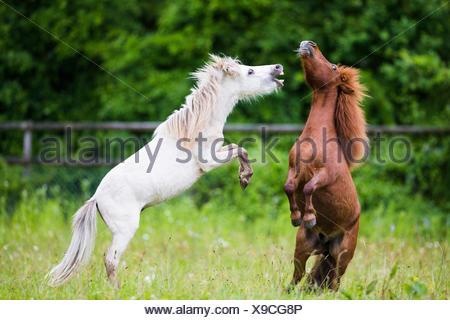 Amerikanische Minipferd und Mini-Shetland-Pony. Zwei jungen Hengst spielen kämpfen auf einer Weide. Schweiz - Stockfoto