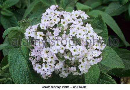 Heliotropium \'White Lady\', Heliotrop Heliotrope weiße Blume Blumen ...