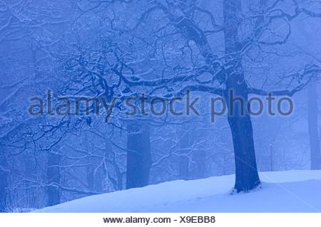 Skandinavien, Schweden, Vastergotland, Ansicht von Schnee bedeckt Baum im park - Stockfoto