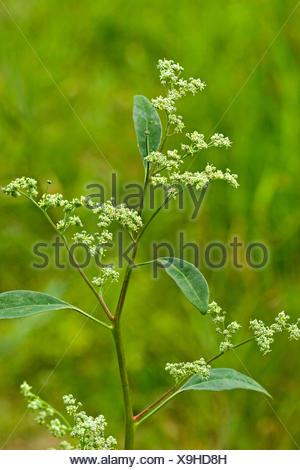 fette henne chenopodium album unkraut pflanze ber die bl te mit glaucous bl schen bedeckt und. Black Bedroom Furniture Sets. Home Design Ideas