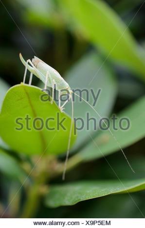 Große grüne Bush-Cricket, Green Bush-Cricket (Tettigonia Viridissima), Weiblich auf Rhododendron Blatt, Deutschland - Stockfoto