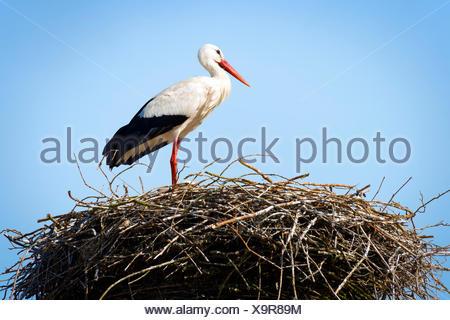 Storch im Nest stehen - Stockfoto