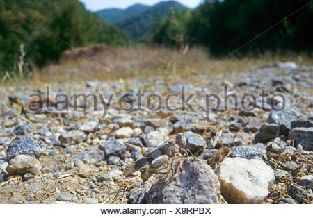 Blau-geflügelte Heuschrecke (Oedipoda Coerulescens, Oedipoda Caerulescens), Weiblich, gut getarnt auf steinigem Gelände, Deutschland - Stockfoto
