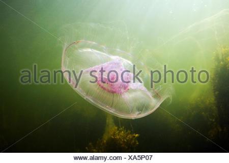 Mond-Quallen (Aurelia Golden) Stockfoto