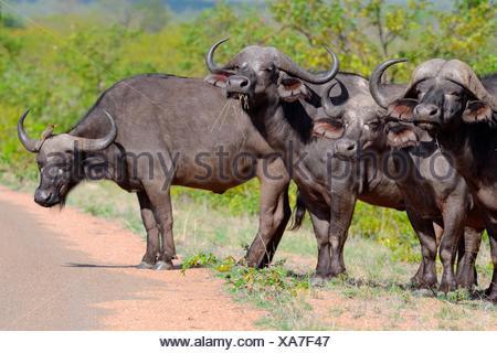 Afrikanische Büffel (Syncerus Caffer) stehen in Reihe an der Seite der asphaltierten Straße mit einem rot-billed Oxpecker (Buphagus - Stockfoto