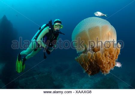 Taucher und Blumenkohl Quallen, Cephea Cephea, Richelieu Rock, Surin Inseln, Thailand - Stockfoto