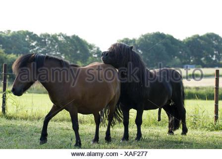 Shetlandpony, Hengst und Stute - Stockfoto