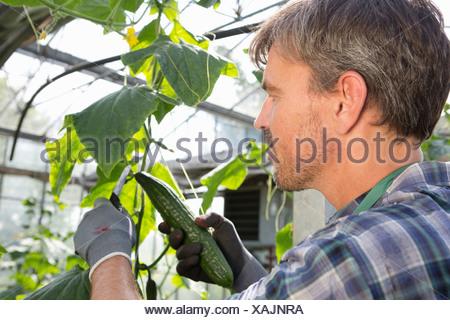 Bio-Bauern Ernten von Gurken im Folientunnel - Stockfoto