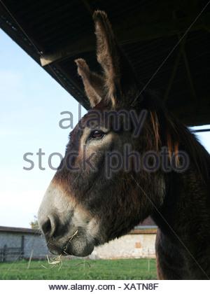 Eine Nahaufnahme von einem Esel Kopf, auf einem Bauernhof. - Stockfoto