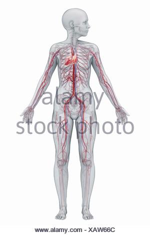 Das Herz-Kreislauf-System (weiblich) des vollständigen Körpers von ...