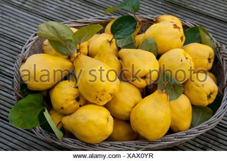 Korb Obst Quitten Ernte Hand Vitamine Vitamine Reif Kernobst
