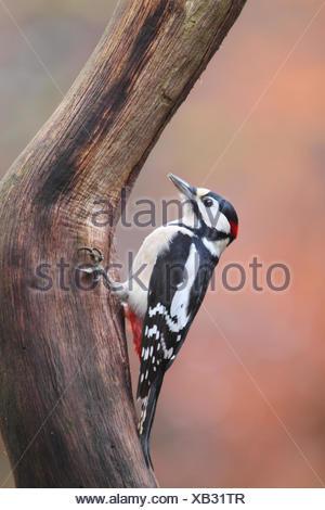 Buntspecht am Baum - Stockfoto
