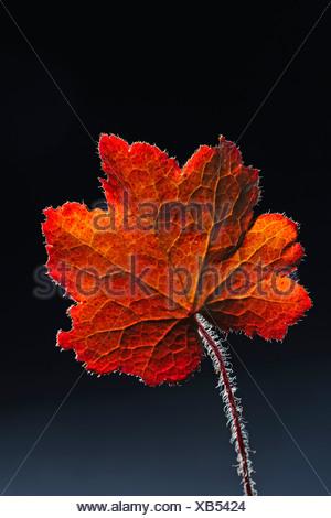 Alumroot oder Coral Bells (Heuchera SP.) Blatt, Hintergrundbeleuchtung - Stockfoto