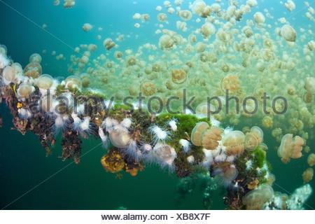 Endemische Anemonen ernähren sich von Quallen Mastigias, Entacmaea Medusivora, Mastigias Papua Etpisonii, Mikronesien, Palau