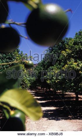 Kalk von Baum In einem Wald nahe aufhängen - Stockfoto