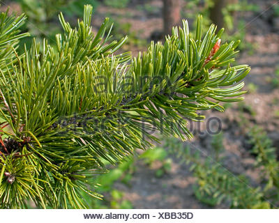 Große Pinus-Bilder