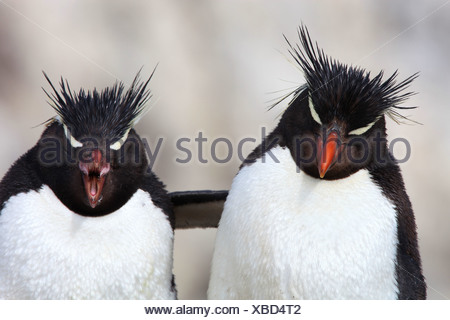 Felsenpinguin (Eudyptes Chrysocome), umarmen, Argentinien, Penguin Island - Stockfoto