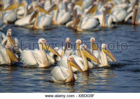 Great White Pelican (pelecanus onocrotalus), große Herde, mkuze Game Reserve, Zululand, Kwazulu - Natal, Südafrika, Afrika - Stockfoto